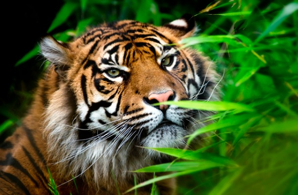 places_to_go_with_kids_Chester_Zoo_Review_Tiger